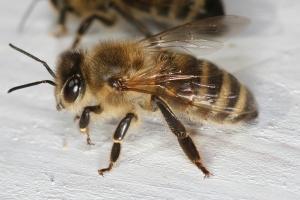 Worker bee Photo by Makro Freak Licensed under CC Attribution-Share Alike 2.5 Generic