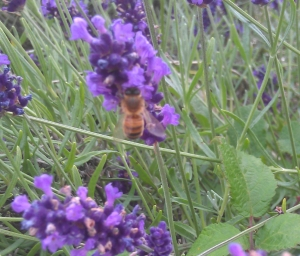 Honey bee on the lavender at Denbies.